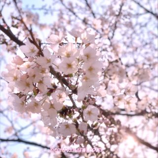 【レイキWS・4月】本日のテーマは、、やっぱり桜の精霊もね♡